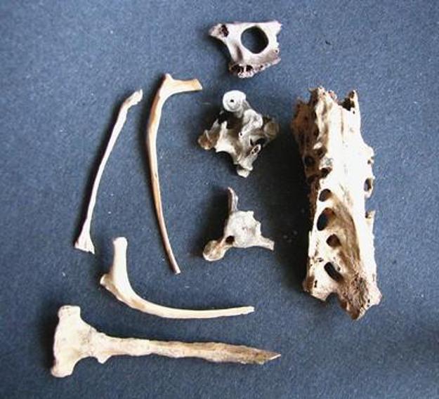 Moa bones located in Hawaii
