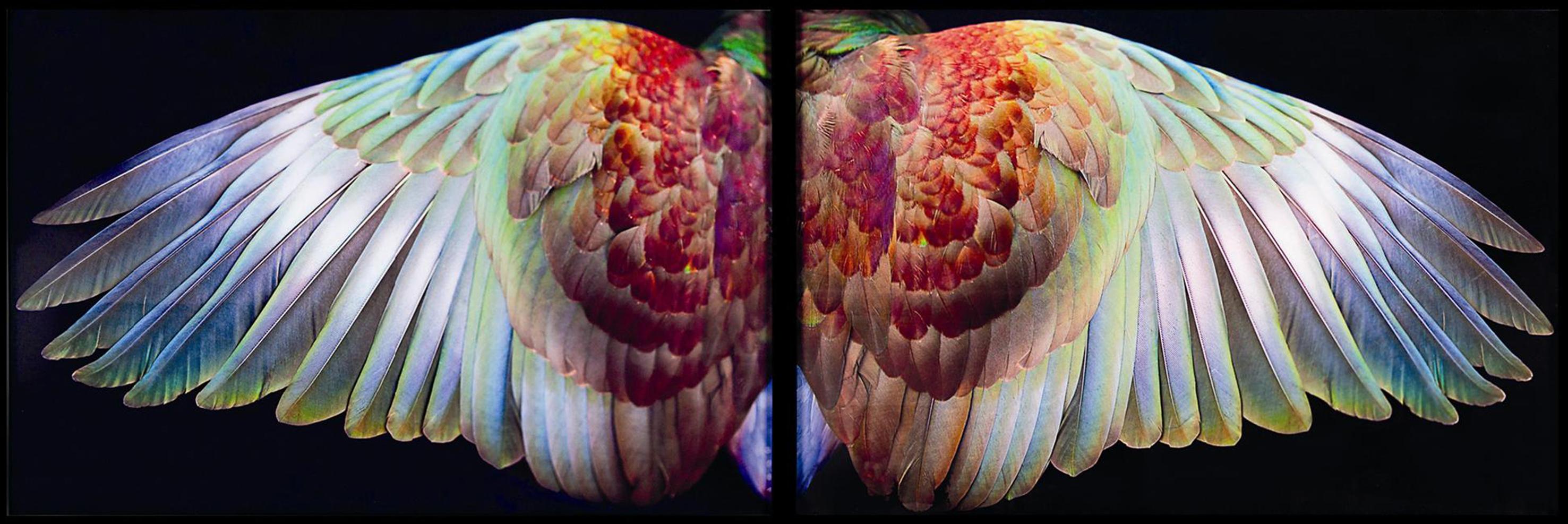 Fiona Pardington - Kereru Wings, Waiheke 2010, Pigment inks on Hahnemuhle Photo Rag